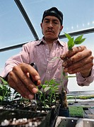 a hispanic man inspects and replants seedlings in a greenhouse