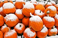 Pile of pumpkins covered with early fall snow