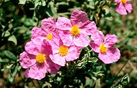 Rock Rose (Cistus albidus)