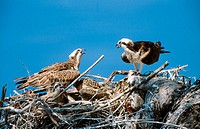 Osprey (Pandion haliaetus) on nest