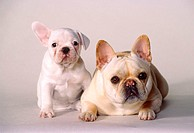 French Bulldog pup and 1-and-a-half-year-old female.