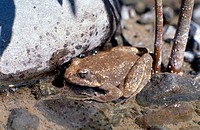 Foothill Yellow-legged frog (Rana boyli), a species of Special Concern in California, which is a candidate for federal endangered status. Eel River, M...