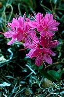 Lapland rosebay (Rhododendron lapponicum).