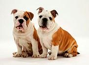 Two Bulldog pups.