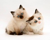Birman-Cross kitten.