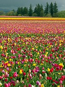 Tulip field, Wooden Shoe Tulip Farm, Woodburn. Oregon, USA