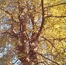 Tree, Ginko Biloba, Le Havre, France