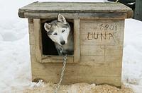 Husky. Perro de trineo. Lapland. Ivalo. Finland.