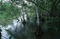 Mangrove, Parque Nacional Manuel Antonio. Costa Rica