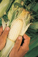 CLOSEUP OF HANDS HOLDING EAR OF CORN