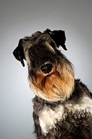 Portrait of a Schnauzer