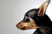 Close-up of a Chihuahua looking away