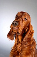 Close-up of a Cocker Spaniel looking up