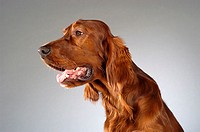 Side profile of a Cocker Spaniel´s