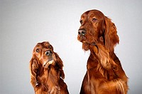 Close-up of two Cocker Spaniel's