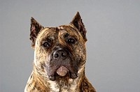 Portrait of a Boxer