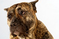 Close-up of a Boxer looking away