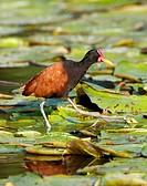 Wattled Jacana (Jacana jacana). Pantanal, the world largest wetland, Brazil, South America