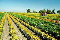 Field of yellow flowers grown for commercial use &amp; clear blue sky in the background, California
