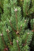 Austrian pine (Pinus nigra ´Hombrookiana´).