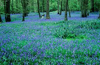 Bluebell wood. Bluebell flowers (Hyacinthoides non-scripta) in a wood.