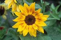 Common sunflower (Helianthus annuus ´Music Box´) flowers.