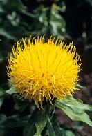 Globe centaurea (Centaurea macrocephala) flower.