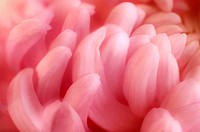 Chrysanthemum flower (Chrysanthemum sp.). The flower of a chrysanthemum is made up of individual flowers known as florets.