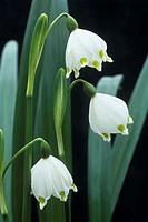 Spring snowflake flowers (Leucojum vernum). Photographed in February.