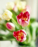Tulip flowers (Tulipa sp.).