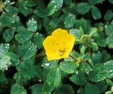 Haberlea flower (Haberlea rhodopensis).