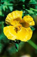 Horned poppy (Glaucium flavum) flower.