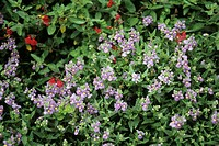 Nemesia flowers (Nemesia ´Bluebell´).