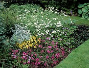 Garden border in summer with marguerite flowers (Argyranthemum frutescens, white), threadleaf coreopsis flowers (Coreopsis verticillata ´Moonbeam´, ye...