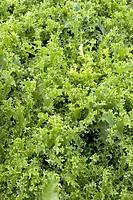 Endive (Cichorium endivia ´Moss Curled´) plants.