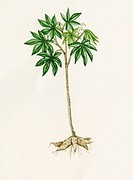 Cassava (Manihot esculenta). Watercolour artwork of a cassava plant. This perennial shrub is cultivated for its edible tubers which are a rich source ...