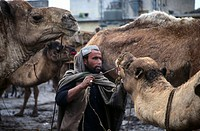 Man with dromedary camels at camel market, Quetta, Pakistan