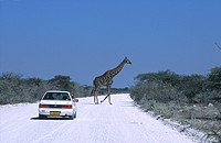 Giraffa Giraffa camelopardalis crossing road in front of car, Etosha National park, Namibia