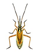 Female hop capsid bug (Calocoris fulvomaculatus), artwork. This predatory species of plant bug measures between 5.8-7.0mm. It has very small wings (mi...