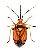 Capsid bug (Deraecoris ruber), artwork. This predatory species of capsid bug measures between 6.5-7.5mm long. Its bright colouration varies greatly be...