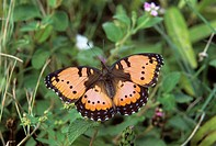 Gaudy commodore butterfly (Precis octavia, also known as Junonia octavia). This butterfly is found in much of Africa, but not in the desert regions. P...