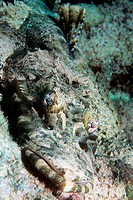 Crocodile fish (Cymbacephalus beauforti) camouflaged on the seabed. This bottom-dwelling fish inhabits the shallow tropical waters of the Indo-Pacific...