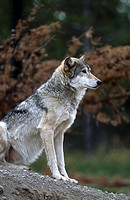 Canadian Gray wolf Canis lupus in forest, Canada
