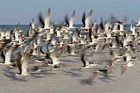 Flock of black skimmers (Rhynchops niger) in flight. This seabird inhabits coastal regions of North and South America, with northern populations headi...