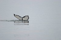 Whale´s tail raised above the water as the whale dives. The tail fins of a whale are called flukes. The notches and colours of a whale´s flukes vary g...