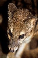Malagasy striped civet (Fossa fossana). The Malagasy is a native to Madagascar where it is found in both tropical and scrub forest. The animal is the ...