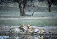 Lionesses. Female African lions (Panthera leo) resting next to water. Lions are sociable animals, living in prides consisting of one or two dominant m...