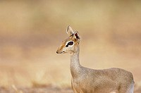Kirk´s dik-dik (Madoqua kirkii). This tiny antelope, also known as the Damara dik-dik (M. damarensis), grows to around 65 centimetres in length and we...