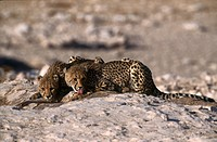 Two cheetahs Acinonyx jubatus lying in steppe