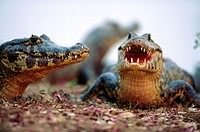 Three caimans (Caiman crocodilus) sunbathing on the bank of a water pond. Near Pocone. Pantanal. Mato Grosso. Brazil